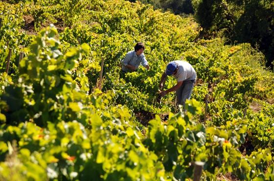 Weinlese von Hand in Itata, Chile