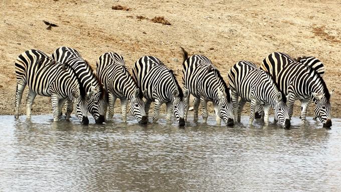 Zebras in Südafrika an Wassertränke